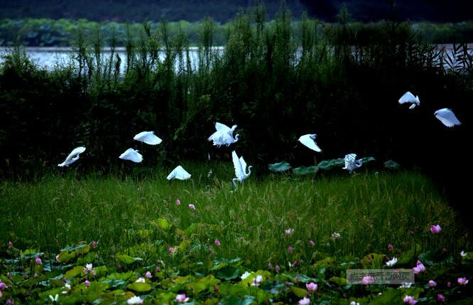 2019端午节微山湖旅游攻略,微山湖红荷湿地攻略