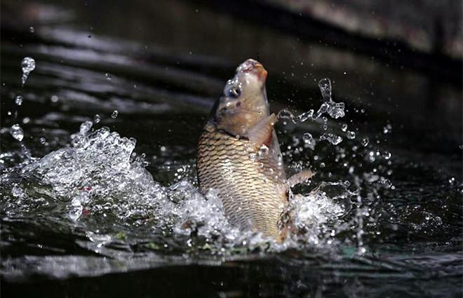 微山湖四鼻鲤鱼,微山湖四鼻孔鲤鱼