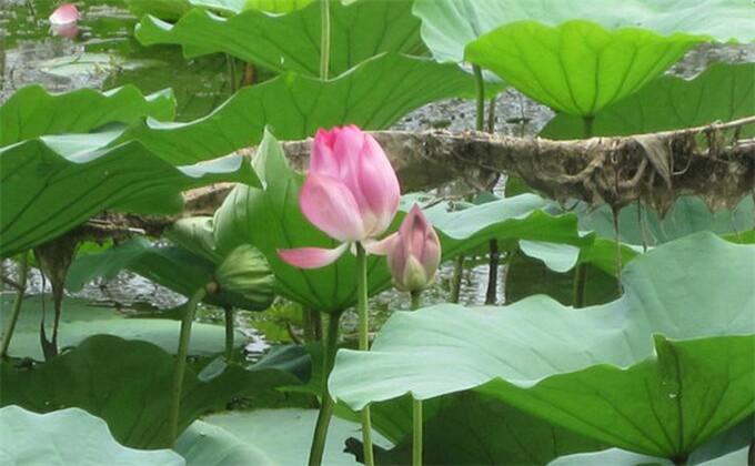枣庄微山湖红荷湿地旅游2日团购