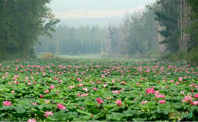 微山湖红荷湿地门票销售时间  滕州微山湖红荷湿地风景区根据荷花盛开