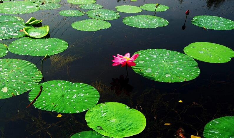 端午节微山湖红荷湿地门票价格,团购,优惠政策